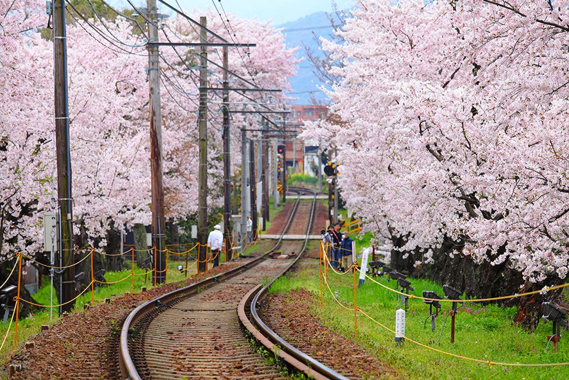 2017년 놓치지 말아야 할 전국 벚꽃축제 총정리