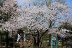 현충원 수양벚꽃에 취하다 | 서울 가볼만한곳, 서울 벚꽃명소