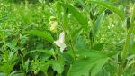 참깨 재배(효능,병충해,참깨꽃 개화시기,수확적기)