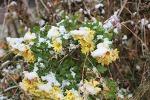 Scontrato i fiorire Chrysanthemum