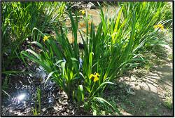 노랑꽃창포. Iris pseudacorus