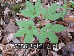 5556 잎장의 산삼 기록 사진