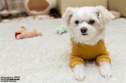 말티즈 강아지 꼬미의 새해인사!