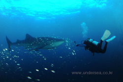 Whale shark in the Derawan archipelago, Indonesia