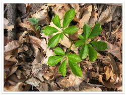 계사년 한해 최고의 산삼이라고 자랑하고자 하는 5  6  7 잎장의 천종산삼