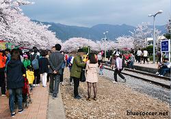 진해군항제 후기, 경화역 벚꽃 역시 아름답다