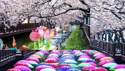 진해 벚꽃여행