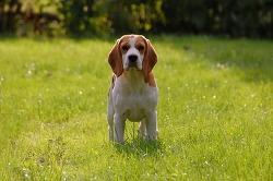 개 애호가들이 가장 좋아하는 최고의 사냥개 BEST 5