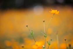 올림픽공원의 들꽃마루에 피었던 황화코스모스와 풍접초입니다. 그런데 예전만은 못했던 것같습니다.
