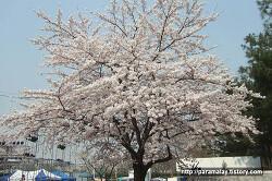 서울 벚꽃, 고수는 오히려 여의도 윤중로 안간다. 서울 벚꽃 명소 어디어디일까?