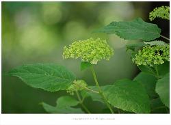 [6월 흰꽃나무] 미국수국 아나벨리(애나벨,안나벨)