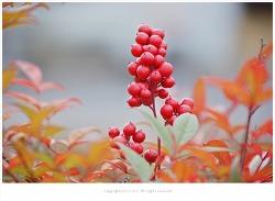 남천나무열매(남천실) 효능 - 해수.천식.백일해.간기능장애/약용식물
