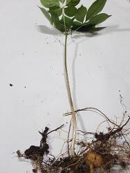 산삼감정 의뢰 사진 (산원초)
