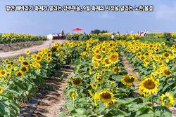 함안 해바라기 축제가 열리는 강주마을, 9월 축제의 시작을 알리는 노란 물결