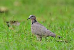 목점박이비둘기