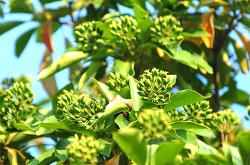 황칠나무 효능 효과 부작용 먹는 방법