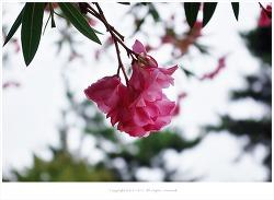 [8월 꽃나무] 만첩협죽도(유도화.독나무) - 맹독성식물