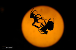 수컷 거미( Spider )의 뜨거운 최후를 보고나서 마님이 무서워짐 ㅋㅋㅋ
