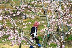 복사꽃 축제 열리고 있는 무주 앞섬마을