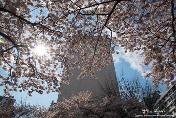 부산 벚꽃 명소, 2017 부산에서 만난 아름다운 벚꽃 명소들