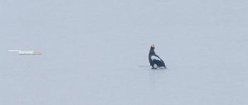 함박눈 맞는 한강의 참수리 사냥후 착지 장면 Steller's sea-eagle