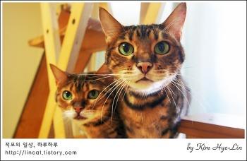 [적묘의 고양이]뱅갈고양이가 집중하는 이유, 시선집중