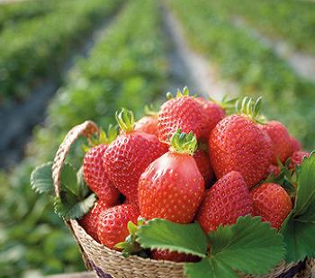 봄방학 기간 아이들과 가볼만한 딸기 체험 스팟 3