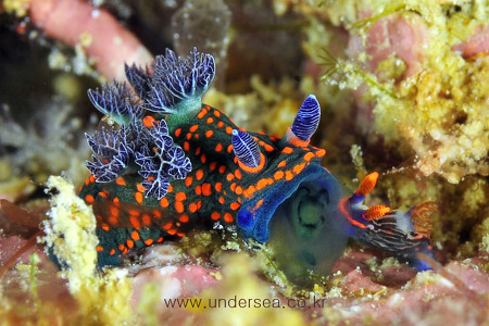 Nembrotha sp. attempting to eat a different species Nembrotha sp.
