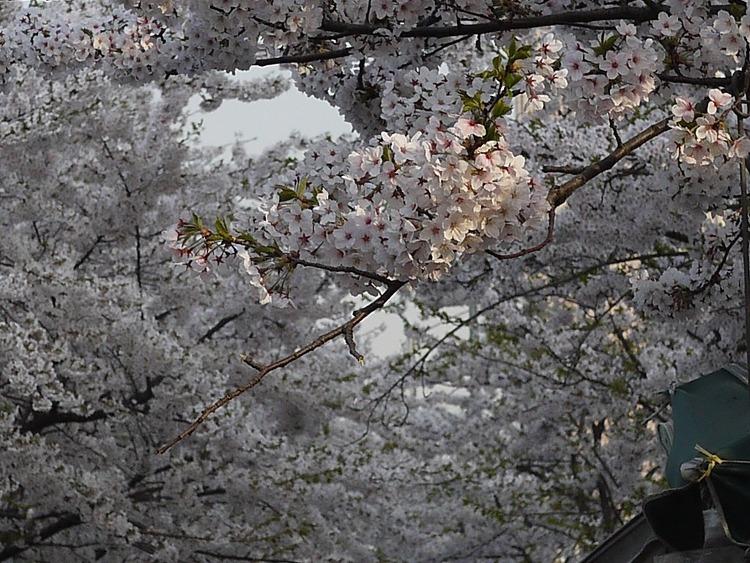 2015 여의도벚꽃축제, 벚꽃개화시기 제대로 알..