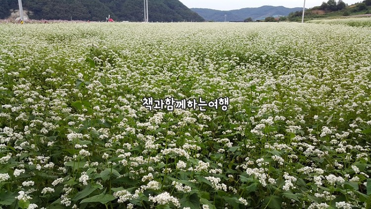 북천코스모스메밀꽃 축제. 메밀꽃의 새하얀 물..