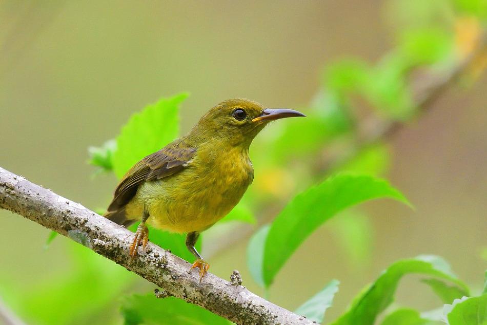 Brown-throated Sunbird juvenile