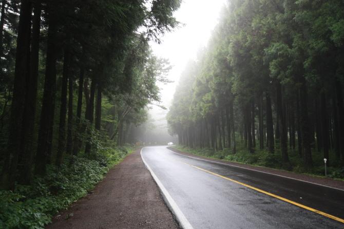 제주도 삼나무 숲길