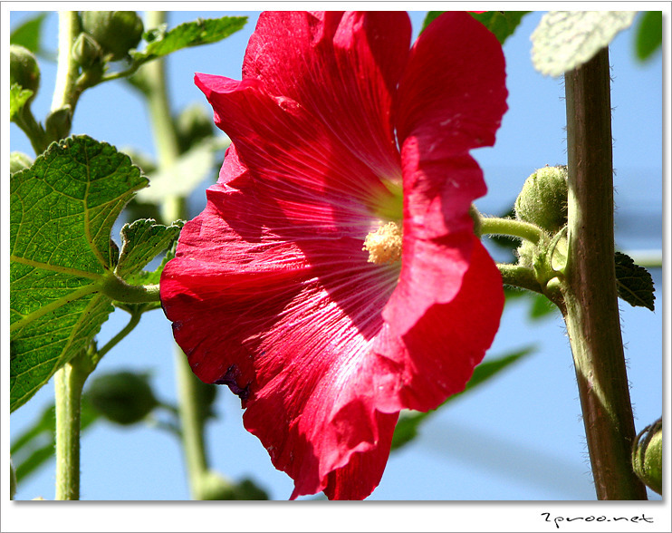 접시꽃 사진, 접시꽃 당신 - 도종환