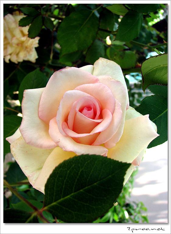 핑크색 장미꽃