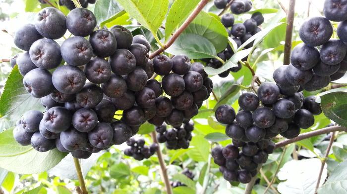 아로니아(블랙초크베리)수확체험 및 생과판매 농장방문 따 가시면 kg당 6천원