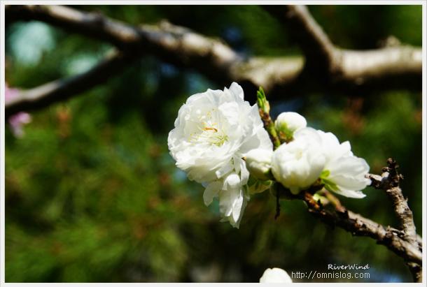 하얀 복숭아꽃,백도,White peach blossom,白い桃の花,白桃花