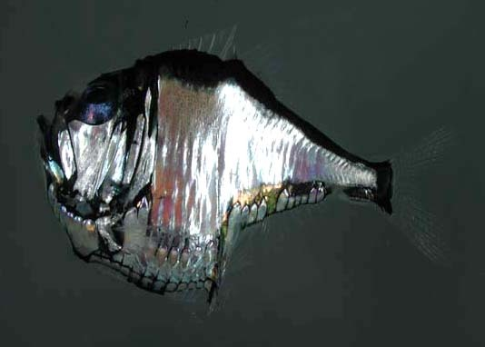 Hatchetfish Sternoptychidae