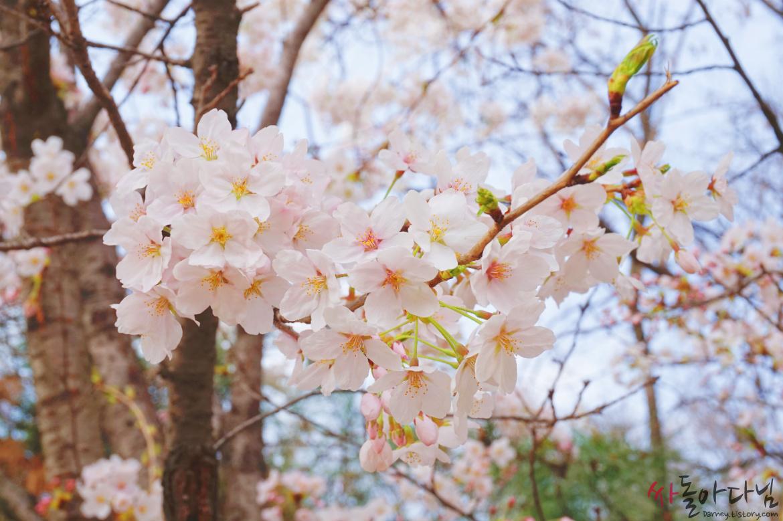 북서울꿈의숲 벚꽃