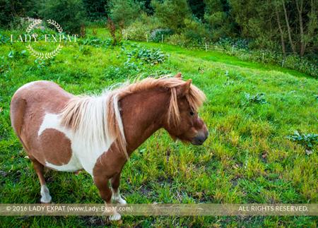 Shetland Pony. Lady Expat