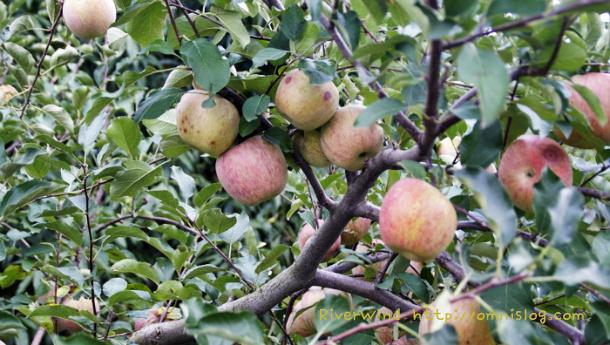 익어가는 언양 사과