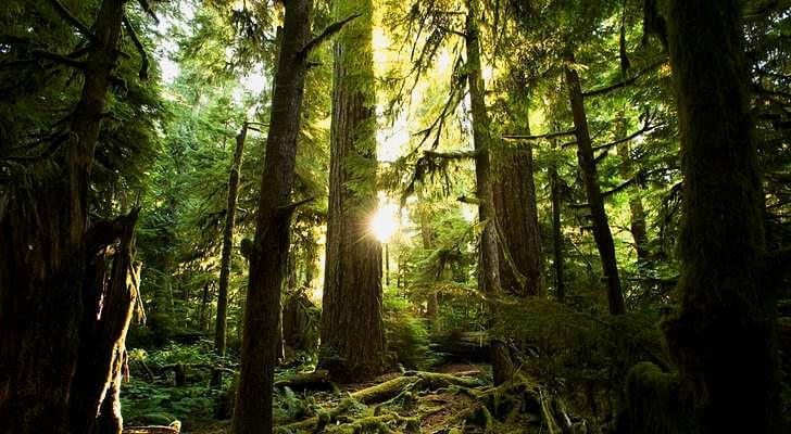 BC 주 맥밀런 주립 공원 소나무 숲입니다