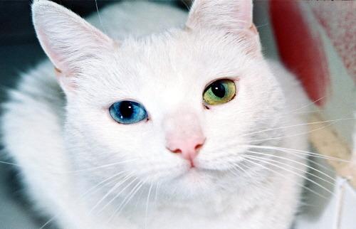 오드아이 고양이 odd eyes Cat