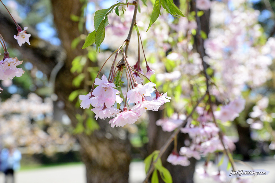[일본/하코다테] 고료카쿠 공원(五稜郭公園)의 벚꽃 풍경
