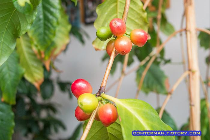 커피열매 베란다 커피나무