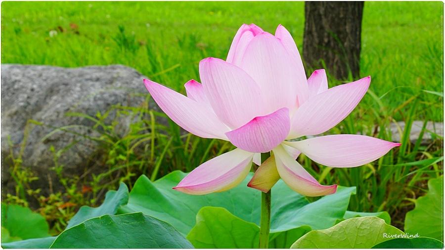 아름다운 연꽃