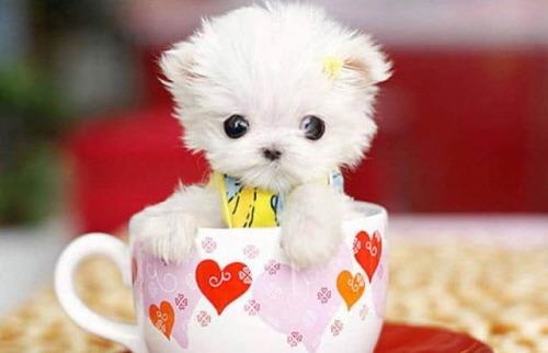 티컵 강아지 teacup dog