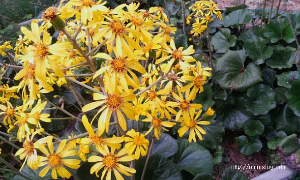 털머위 꽃