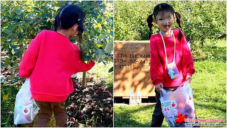 사과 따기 체험