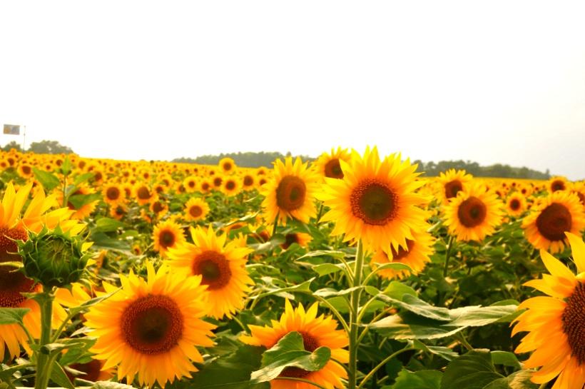 라벤더 보다 여름 홋카이도 호쿠류쵸 해바라기 축제 에 가자!
