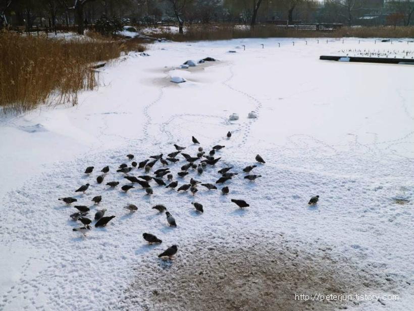 눈 위에서 밥먹는 비둘기